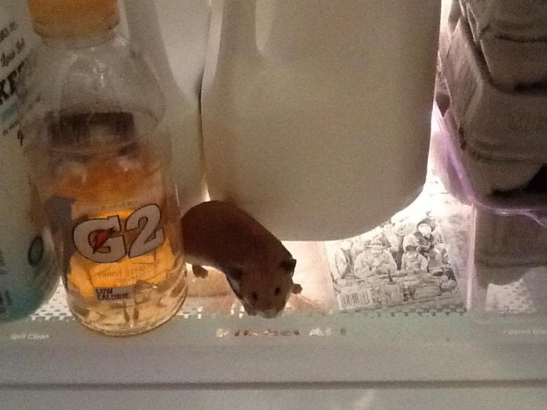 Hamster in the Fridge